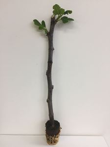 Picture of Ficus Carica cutting Florali