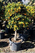 Picture of Citrus Callamondino